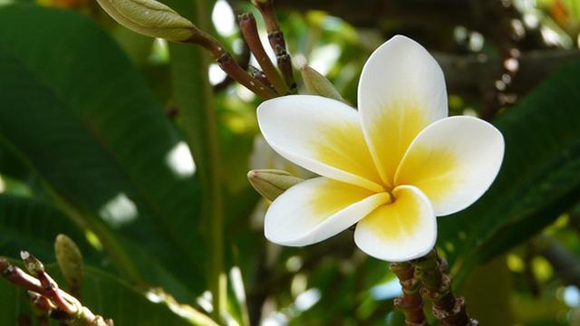 Khasiat Bunga Kamboja Sebagai Minyak Esensial Yang Menenangkan