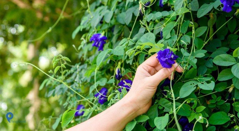 Manfaat Bunga Telang Untuk Kesehatan